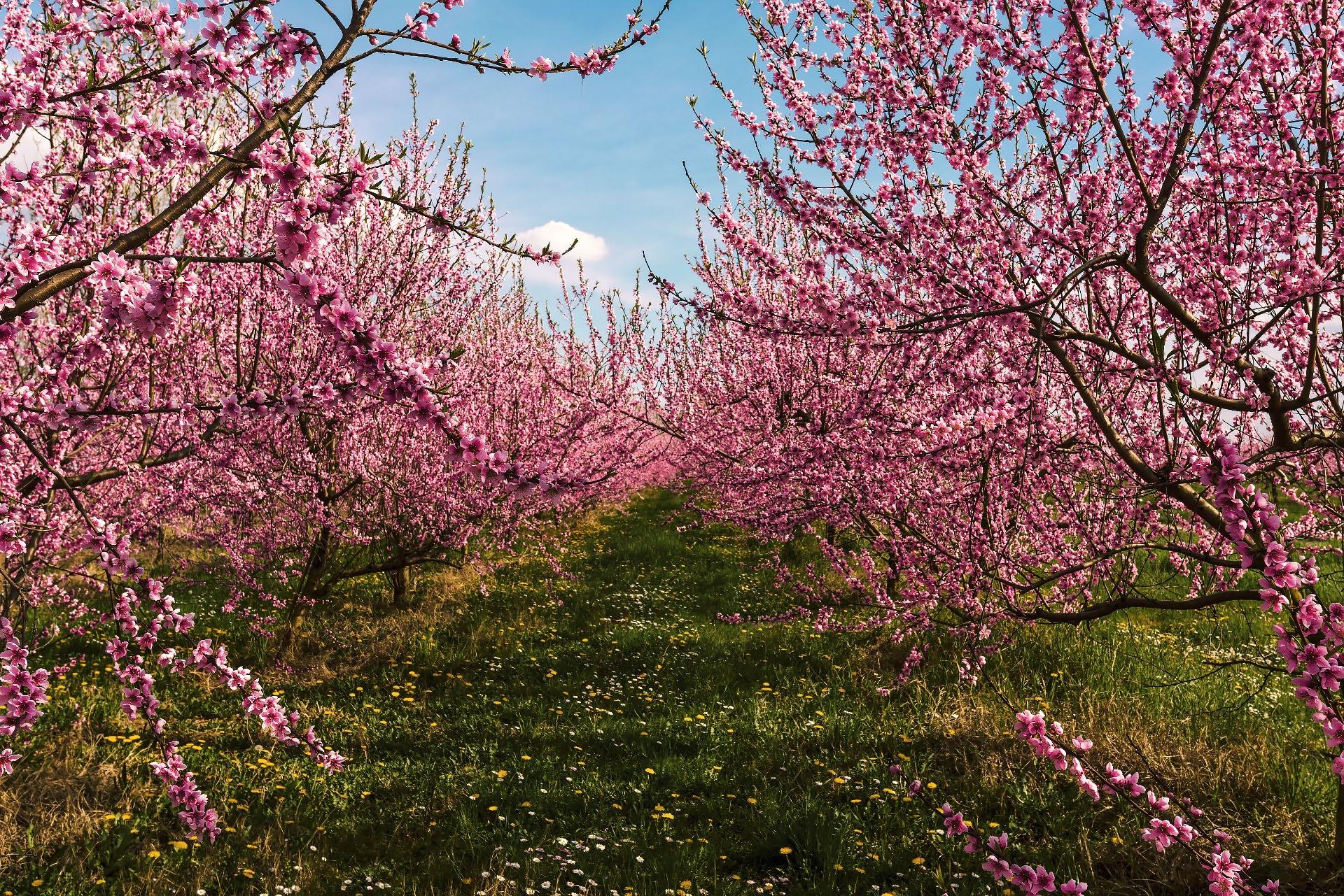 молодыми картинка цветущего персиками разнообразие фото представлено
