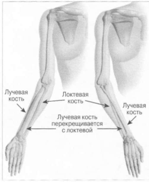картинка лучевой и локтевой кости отметить