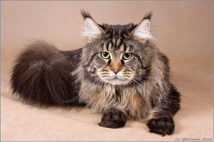 котята мейн кунов
