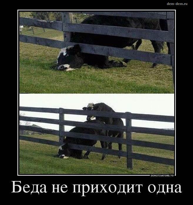 Беда не приходит одна картинка с коровами