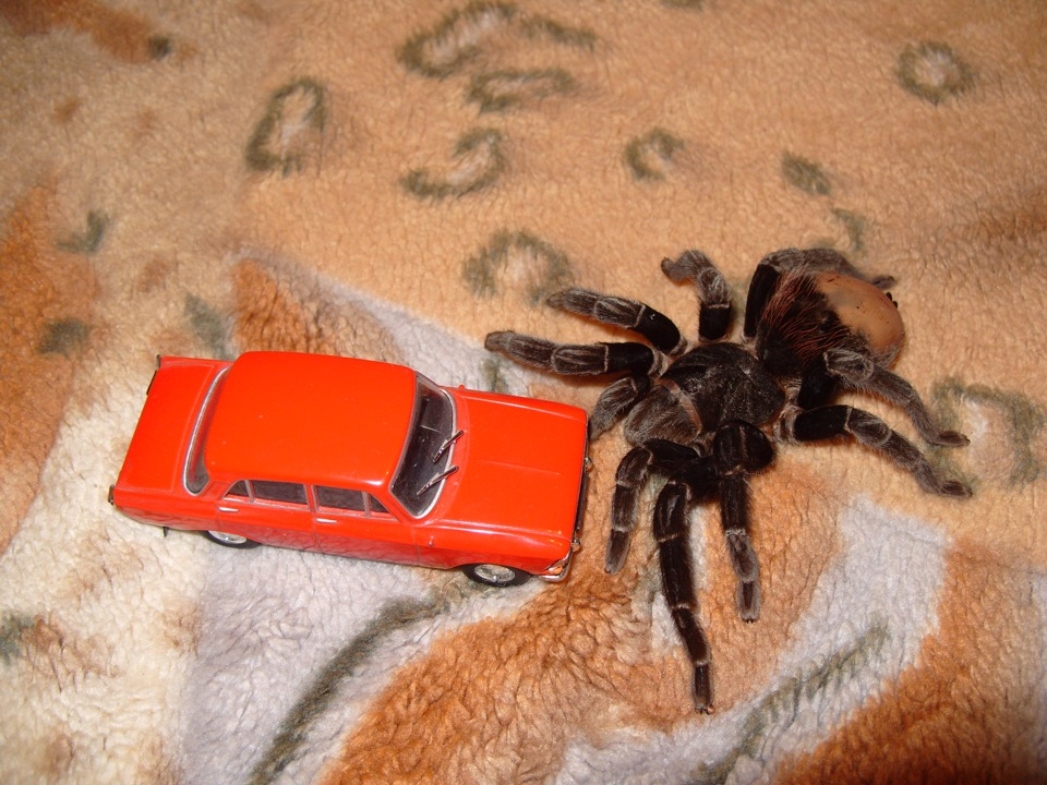 Лысая попа у паука