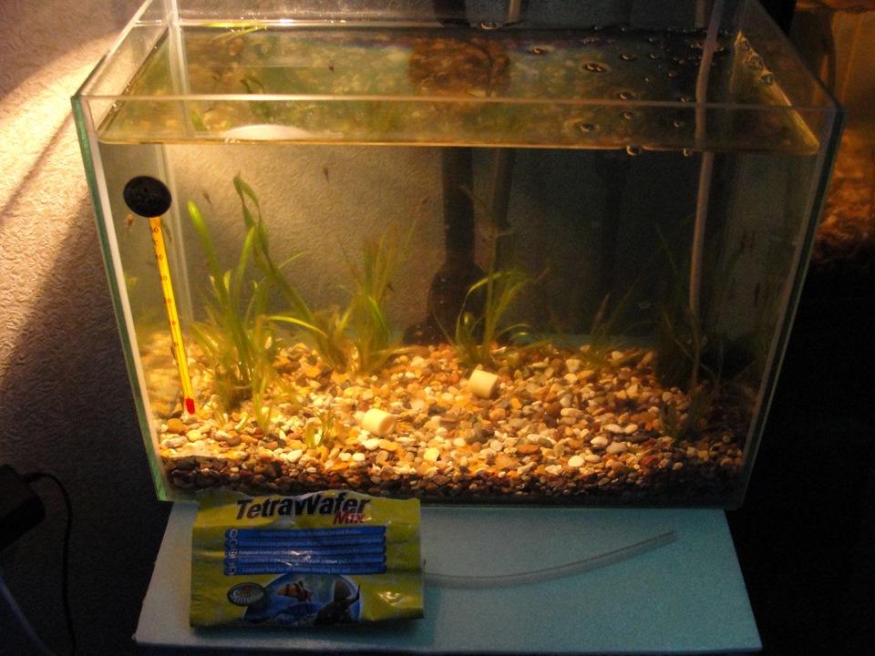 Мальки анциструса в общем аквариуме