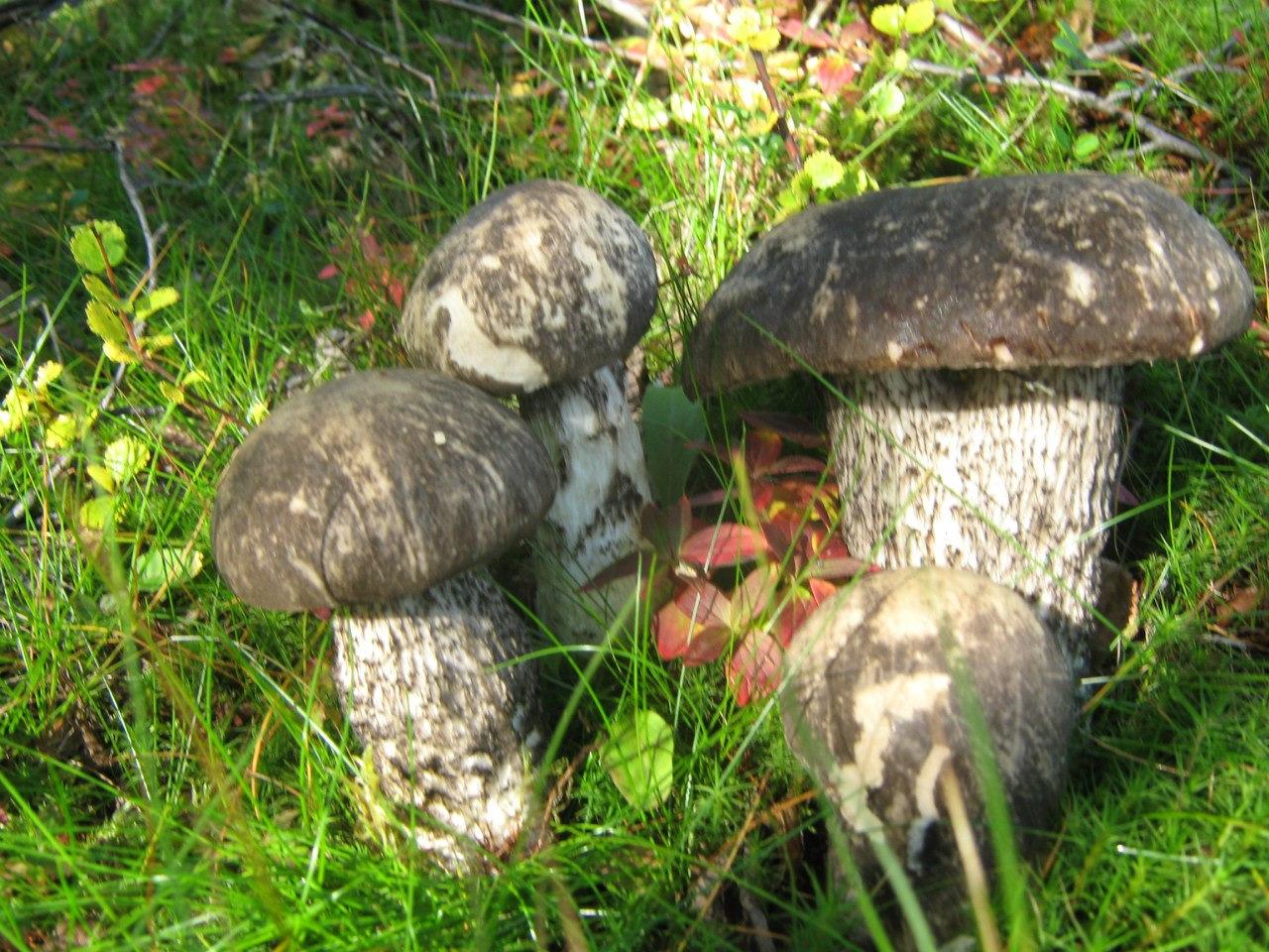 фото уже грибы в мурманской области картинки вязанная