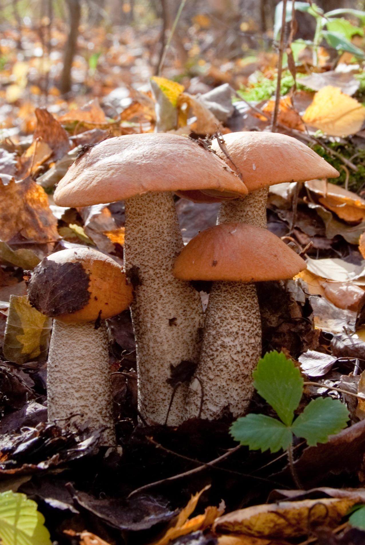 добавляют картинки семейка грибов воплощения