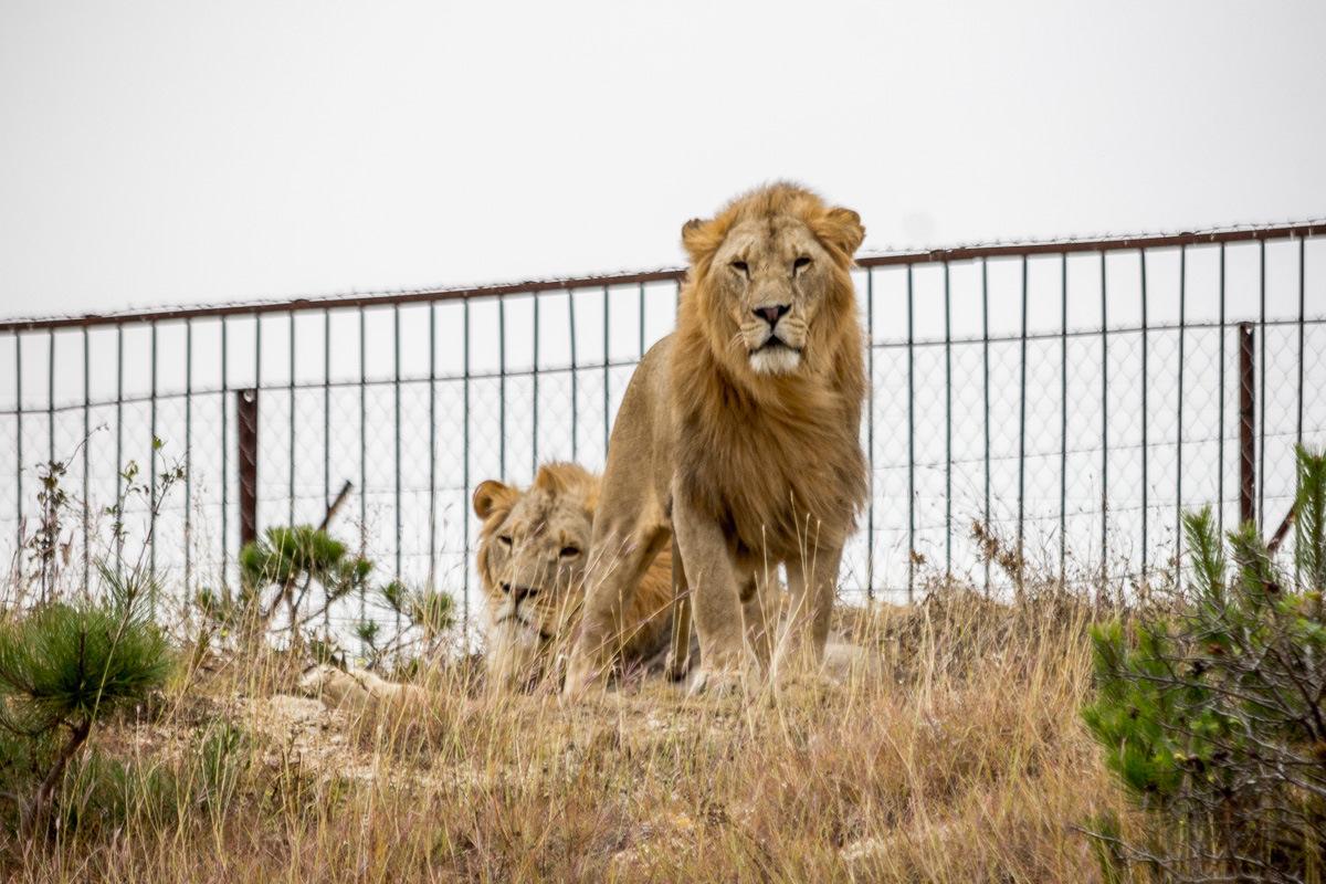 Картинки по запросу тайган парк львов