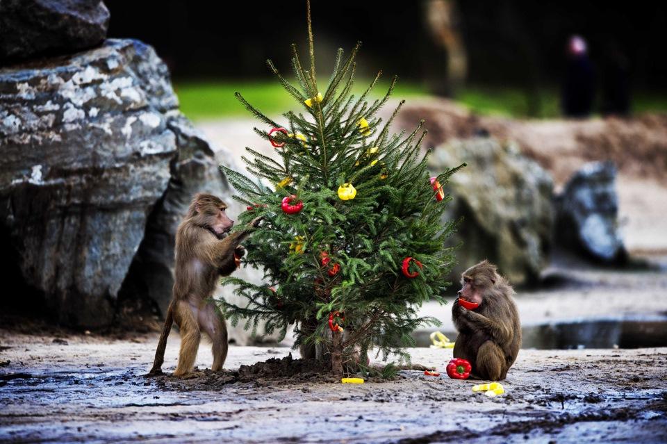 Новый год обезьяна прикольные картинки, видео картинки