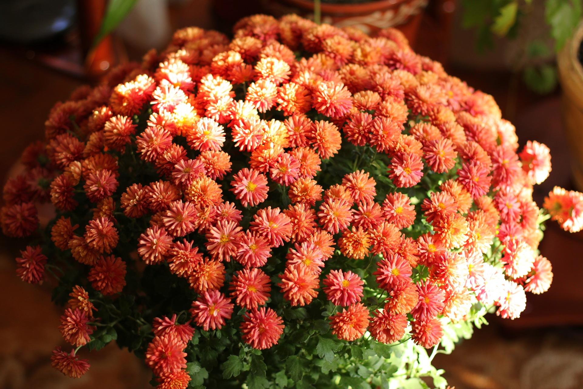 хризантемы с днем рождения картинки
