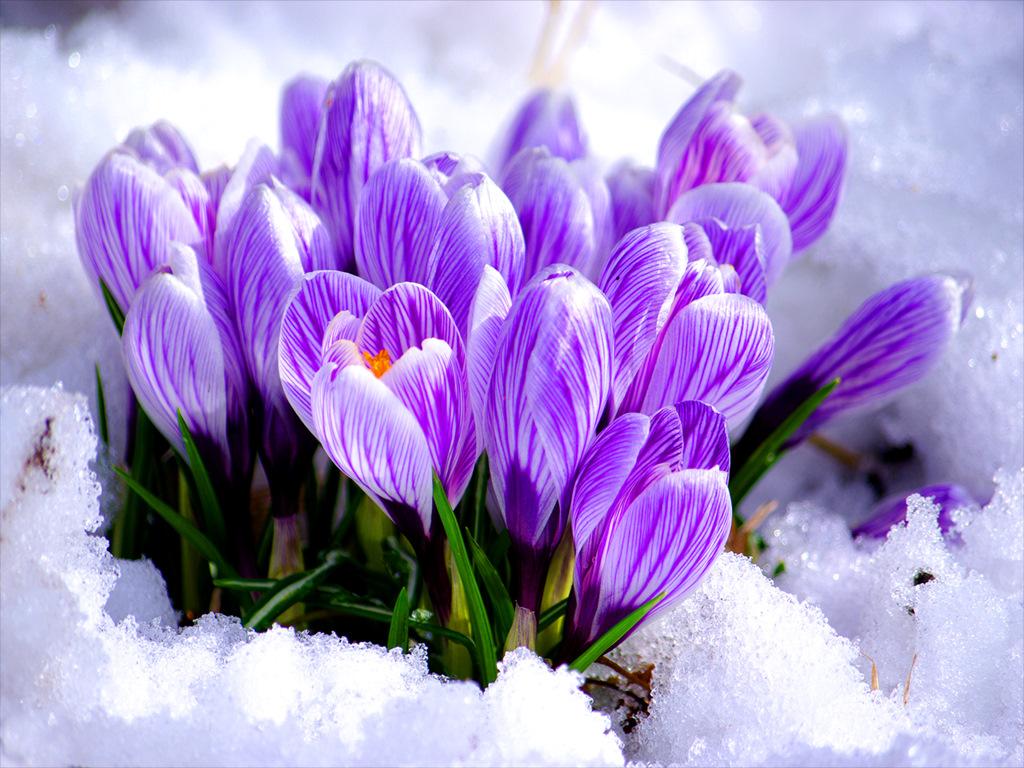 Открытка с днем рождения подснежники в снегу, снег идет приколы