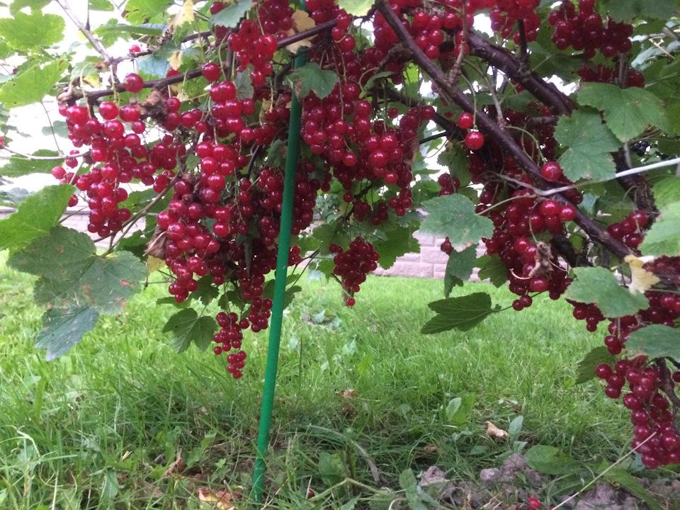 Выращивание штамбовой смородины 58