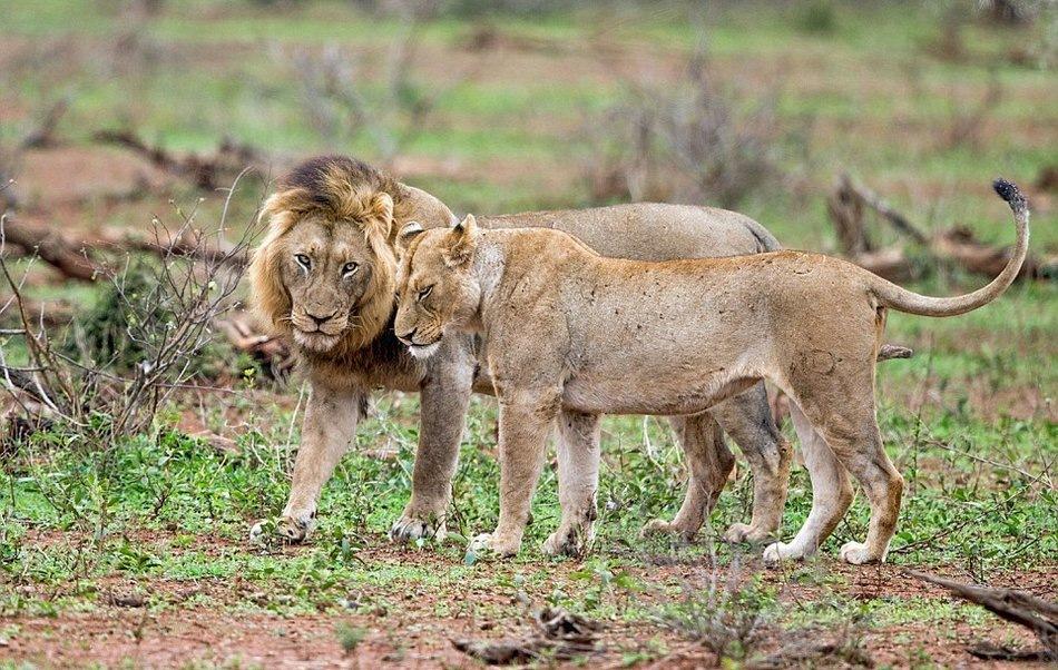 жизнь львов в дикой природе видео - 6