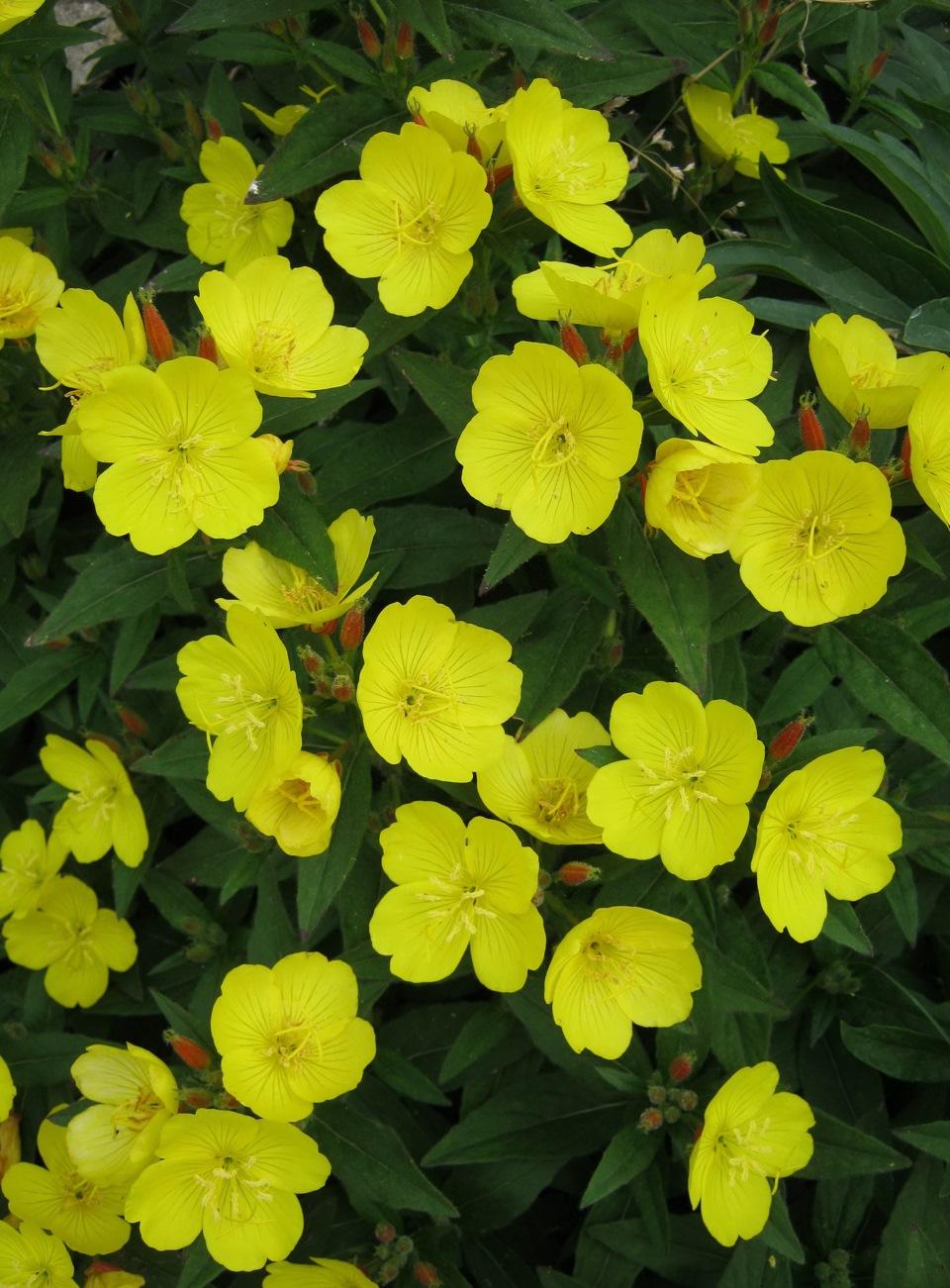 Фото садовые цветы желтые
