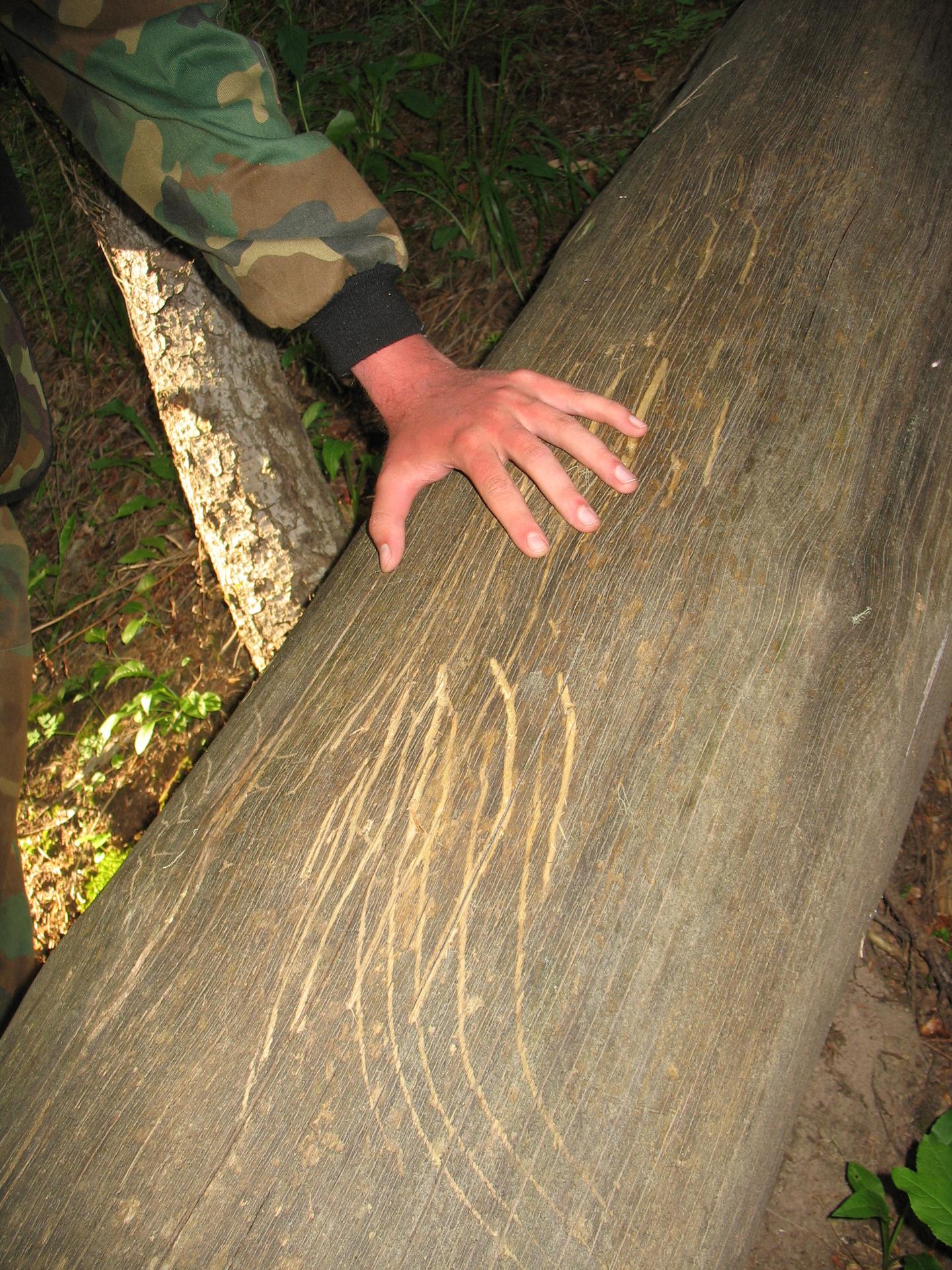 сожалению, царапины на дереве от когтей медведя фото неравном
