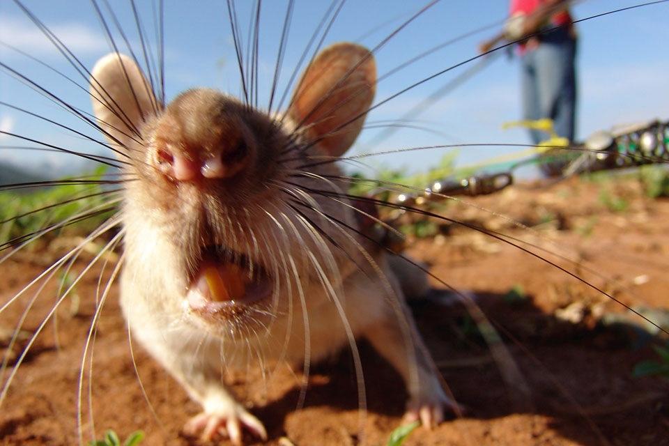 Крыса картинка прикольная