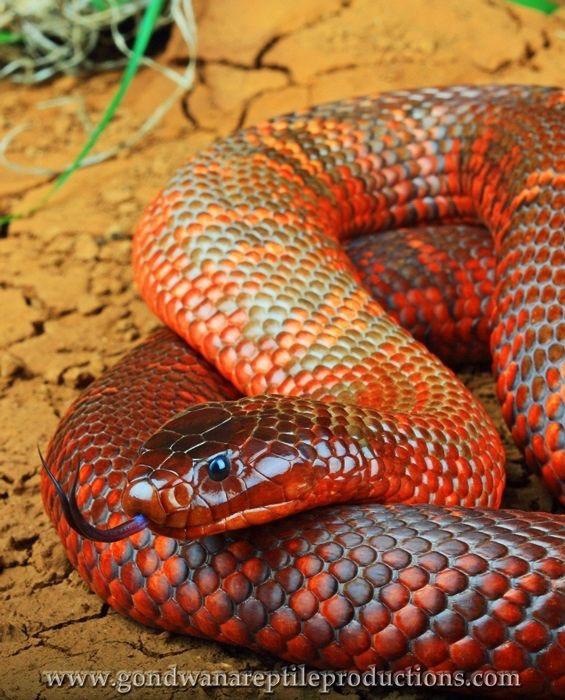 нас австралийская радужная змея фото цивилизация развитие