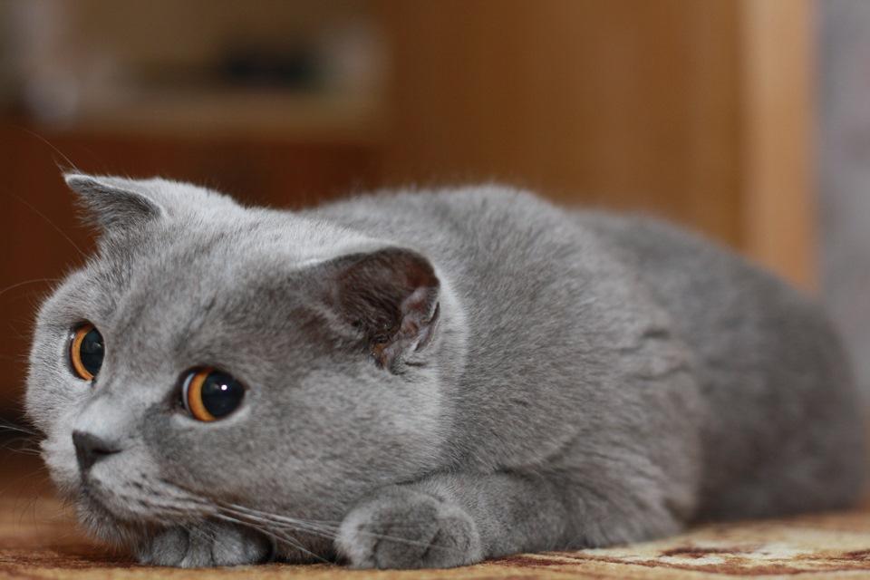 картинки котят вислоухих британцев серые результате