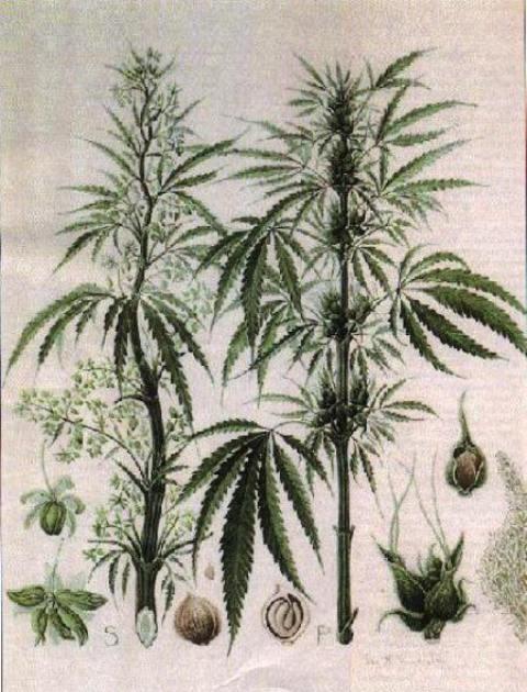 Уретрит конопля можно ли курить марихуану при кодировке