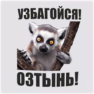 Аватарку, картинки с лемуром с надписью узбагойся