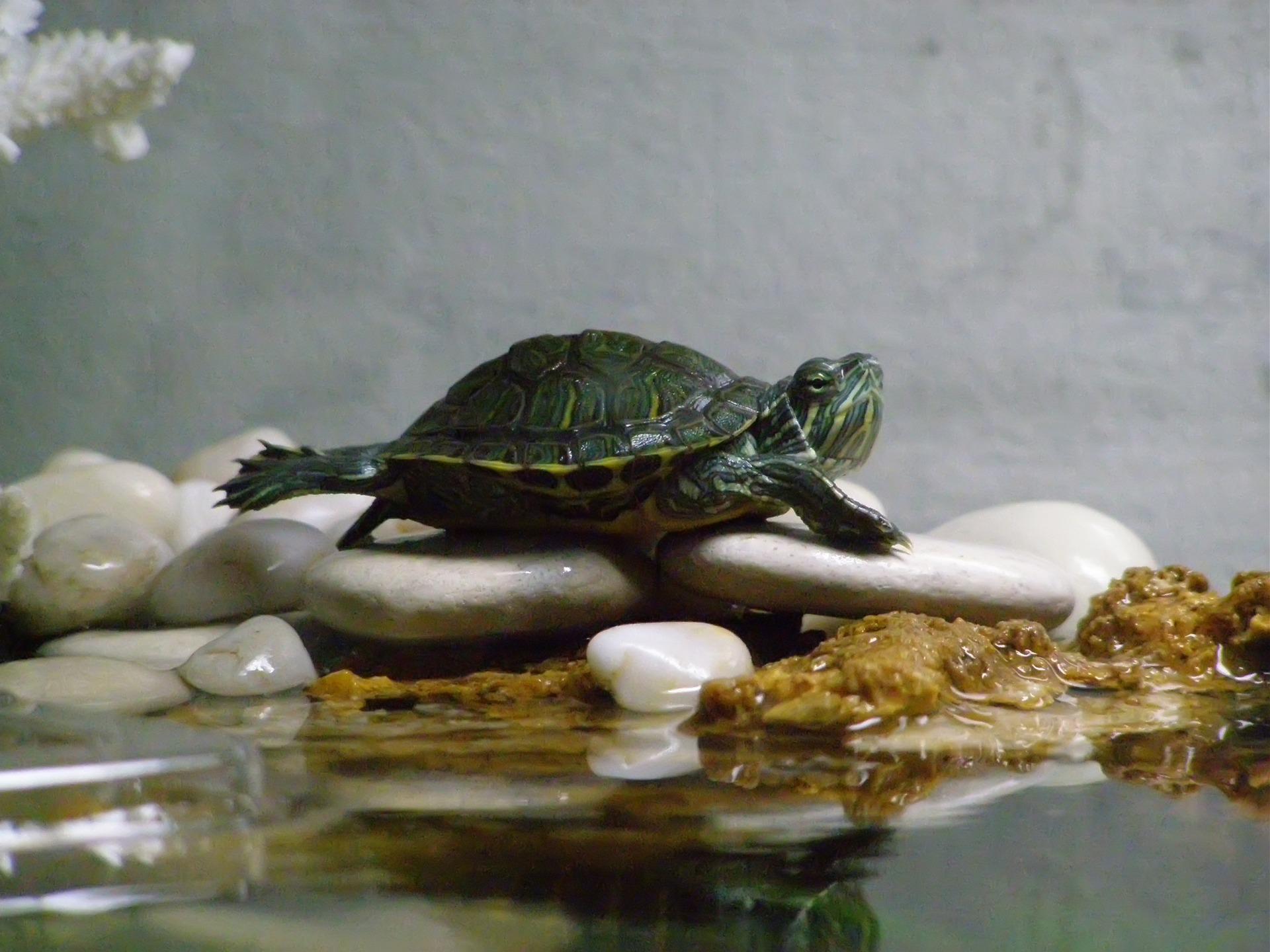 водяная черепаха в домашних условиях фото чего возникают