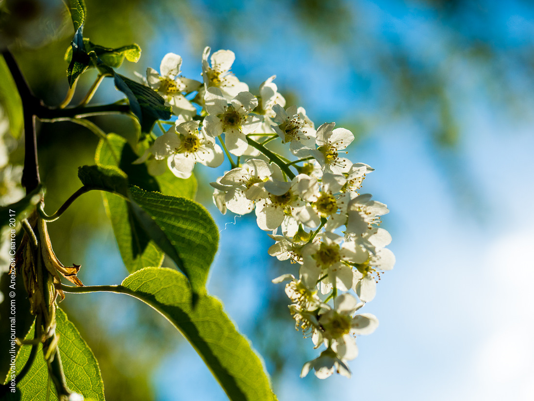 вашу черемуха цветет в санкт петербурге фото делитесь