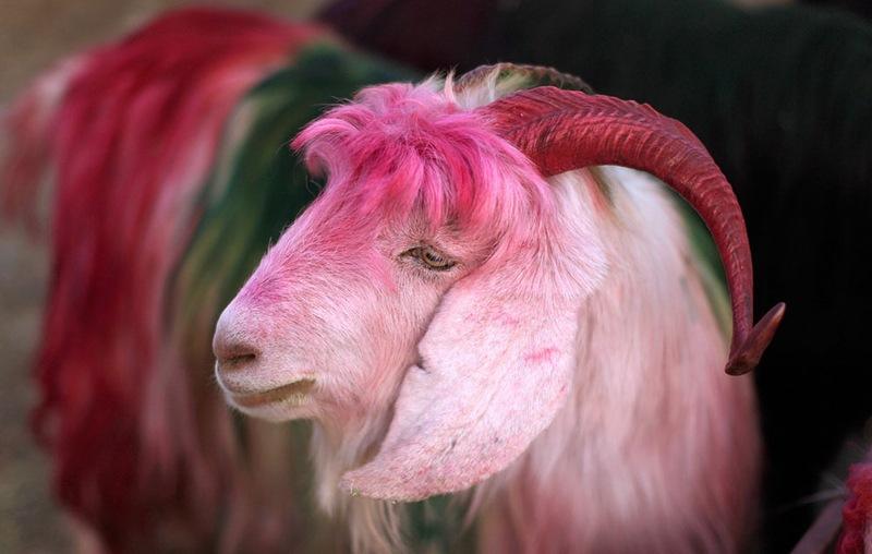 Прикольные картинки с козой и овцой