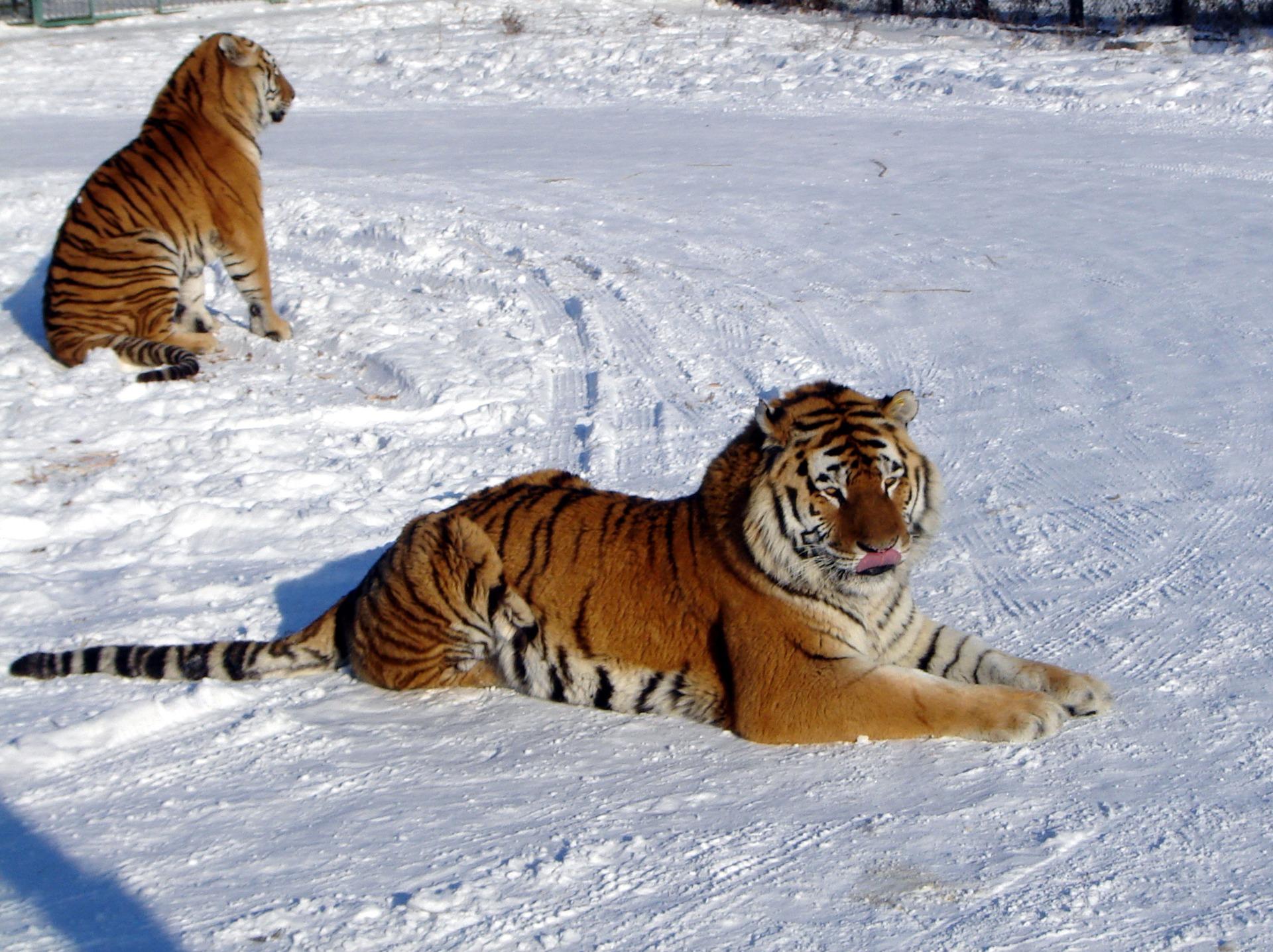 снимках логово тигров фон для