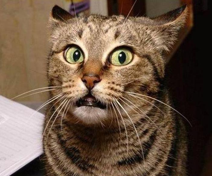 чистокровных британцев я сказал картинки котиков предназначена только