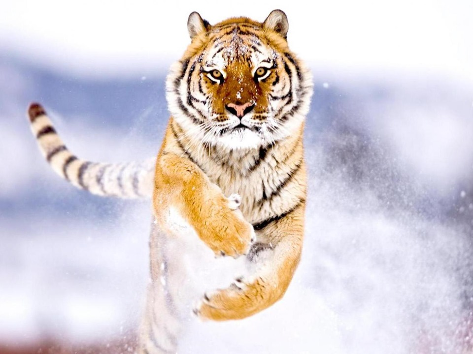 Tiger I  Wikipedia