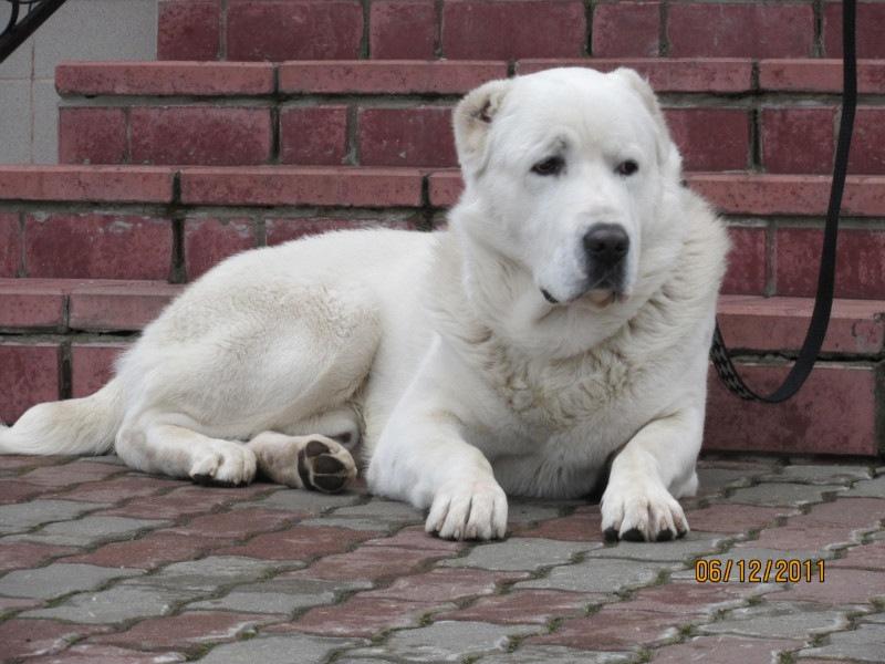 фото алабая взрослого белого