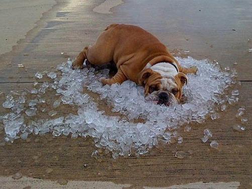 Собака и жара