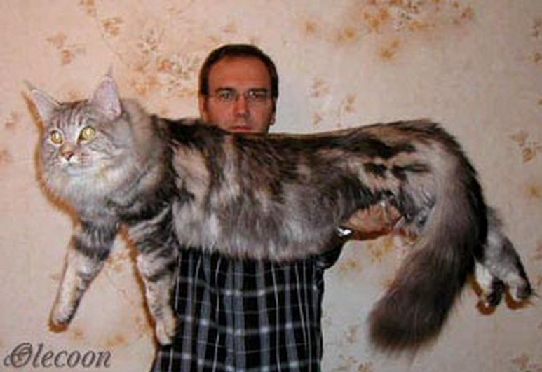 Порода котов домашняя рысь