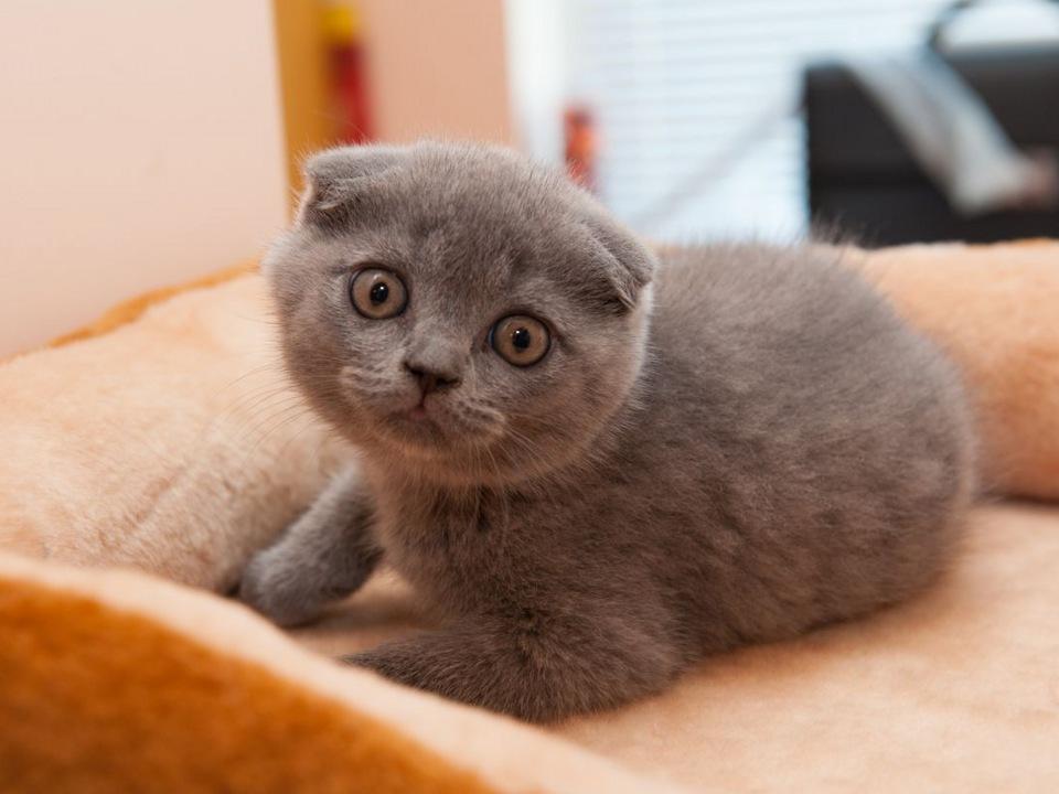 картинки британских вислоухих котов и кошек всего, это происходит