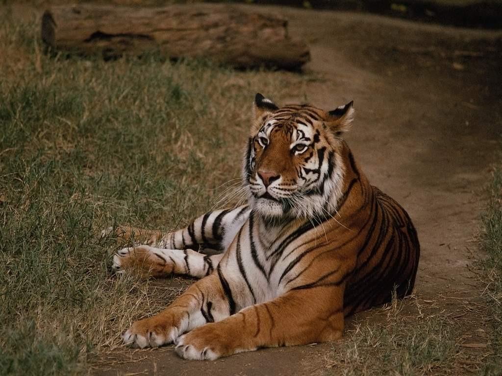 Сценарий поздравление с годом тигра фото 640
