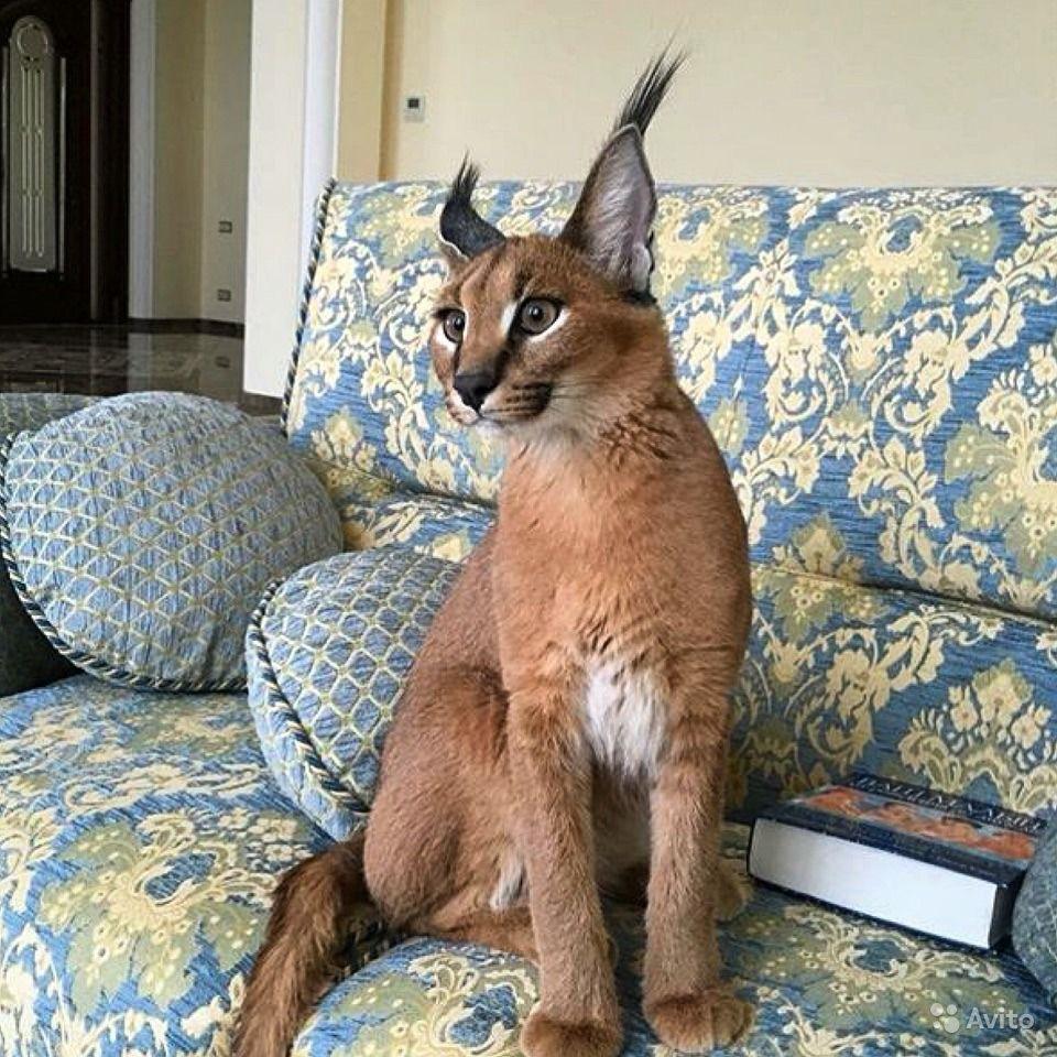 большие коты похожие на рысь фото сша