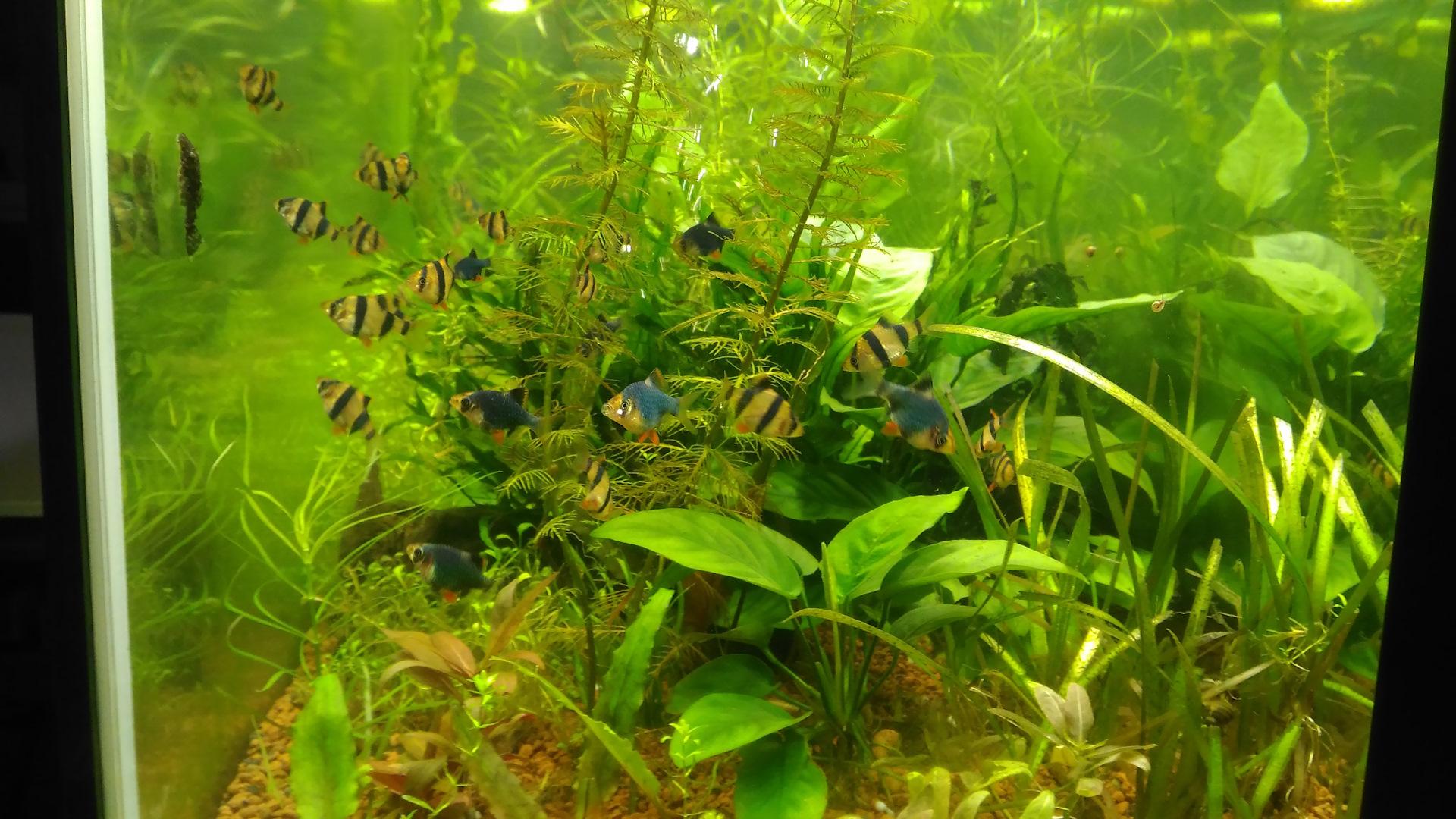 середине фронтонной водоросли в аквариуме нитчатка фото того