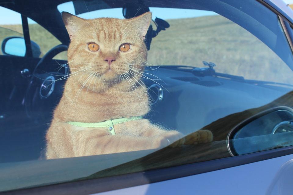 Кот из окна в машине