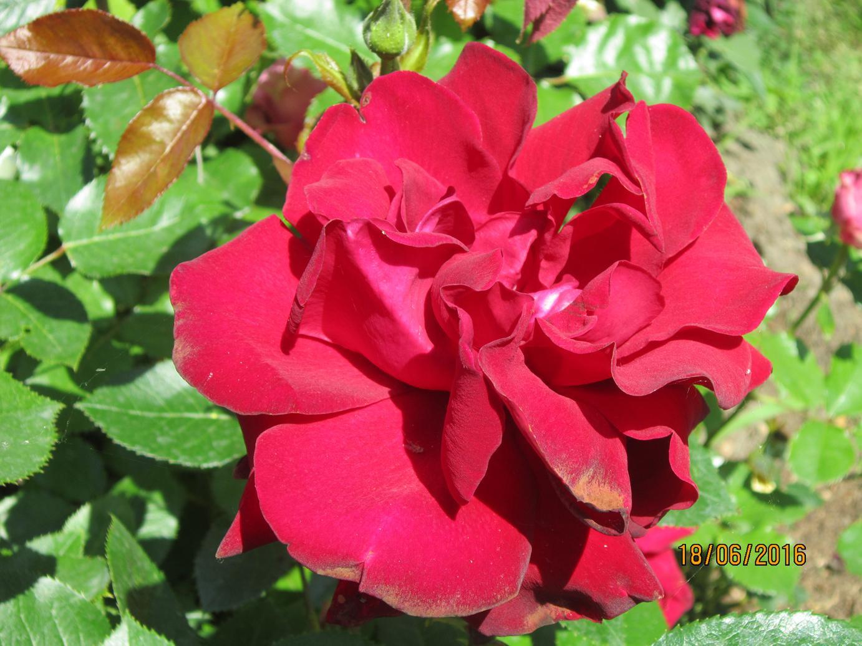 металлических поздравление от донны розы поместили пластиковую