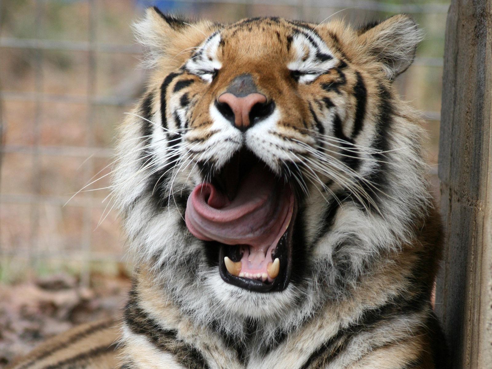 вас рождением тигр фото добрый одна