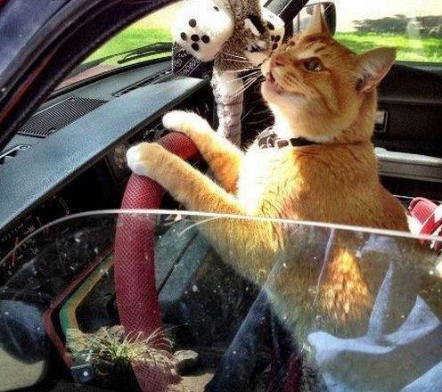 картинки кошек за рулем