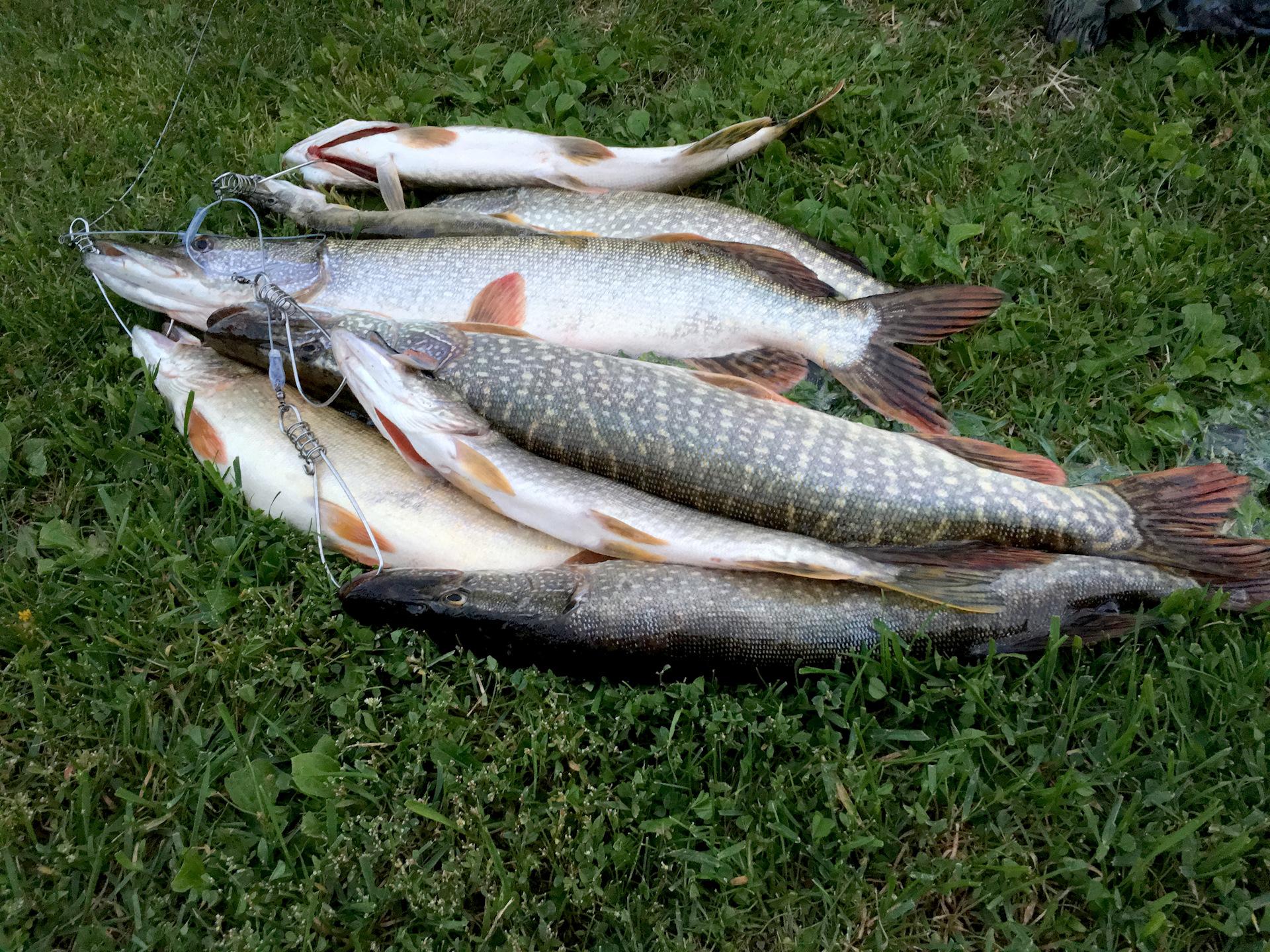 самом картинки рыб омской области жизни, если