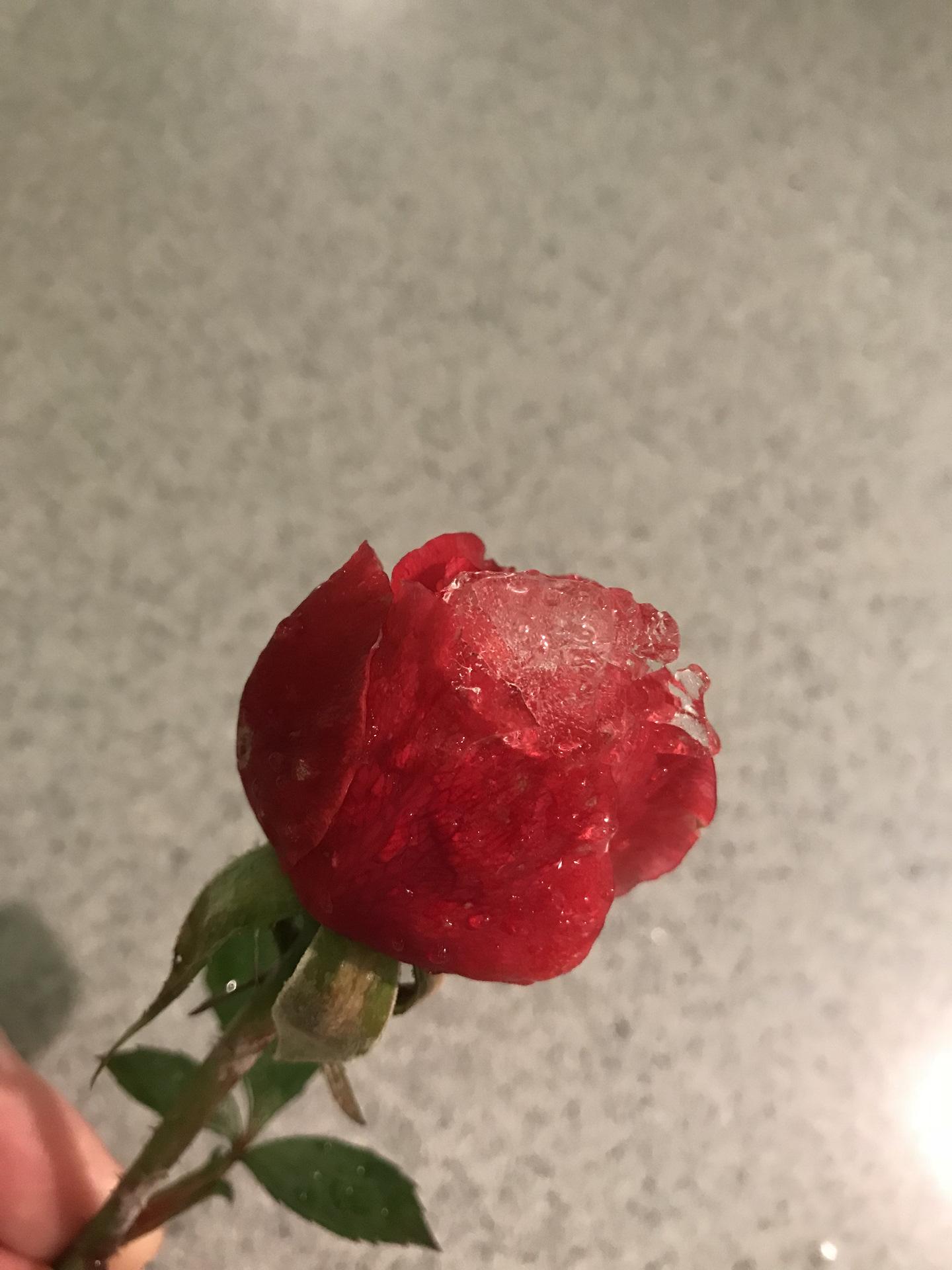 Свежие розы фото как определить