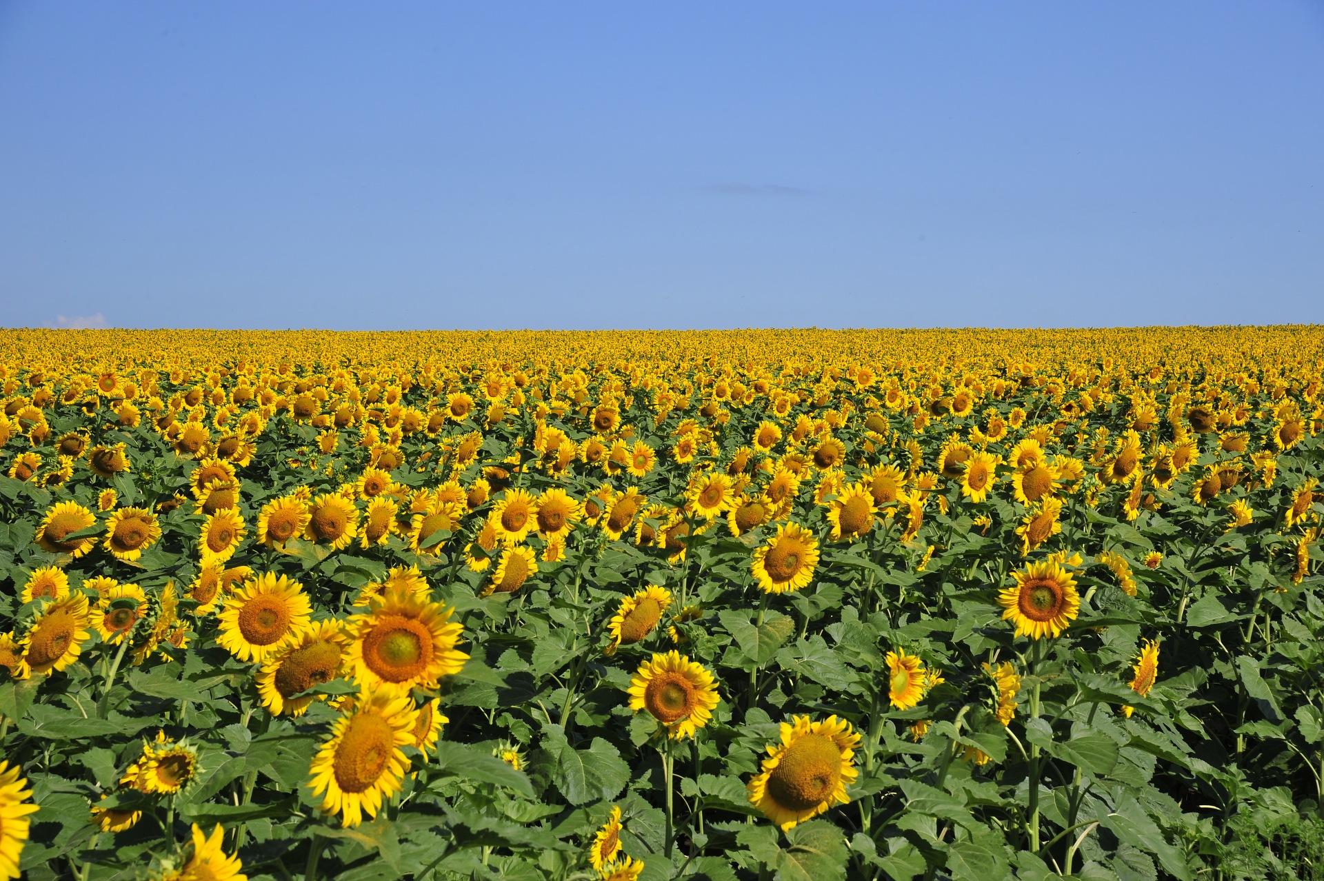 Подсолнечник кукуруза картинки