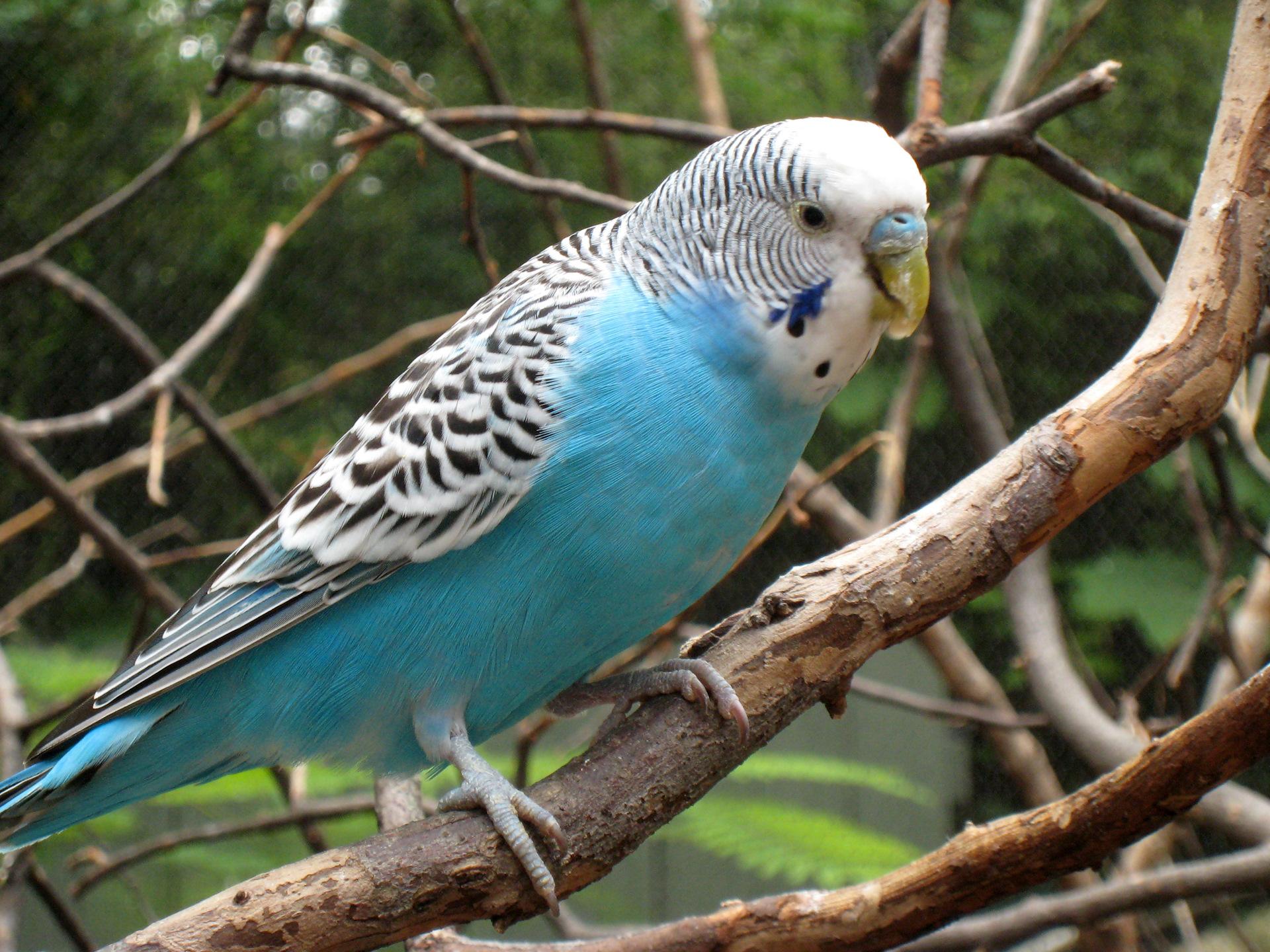 Картинки попугаев обычных