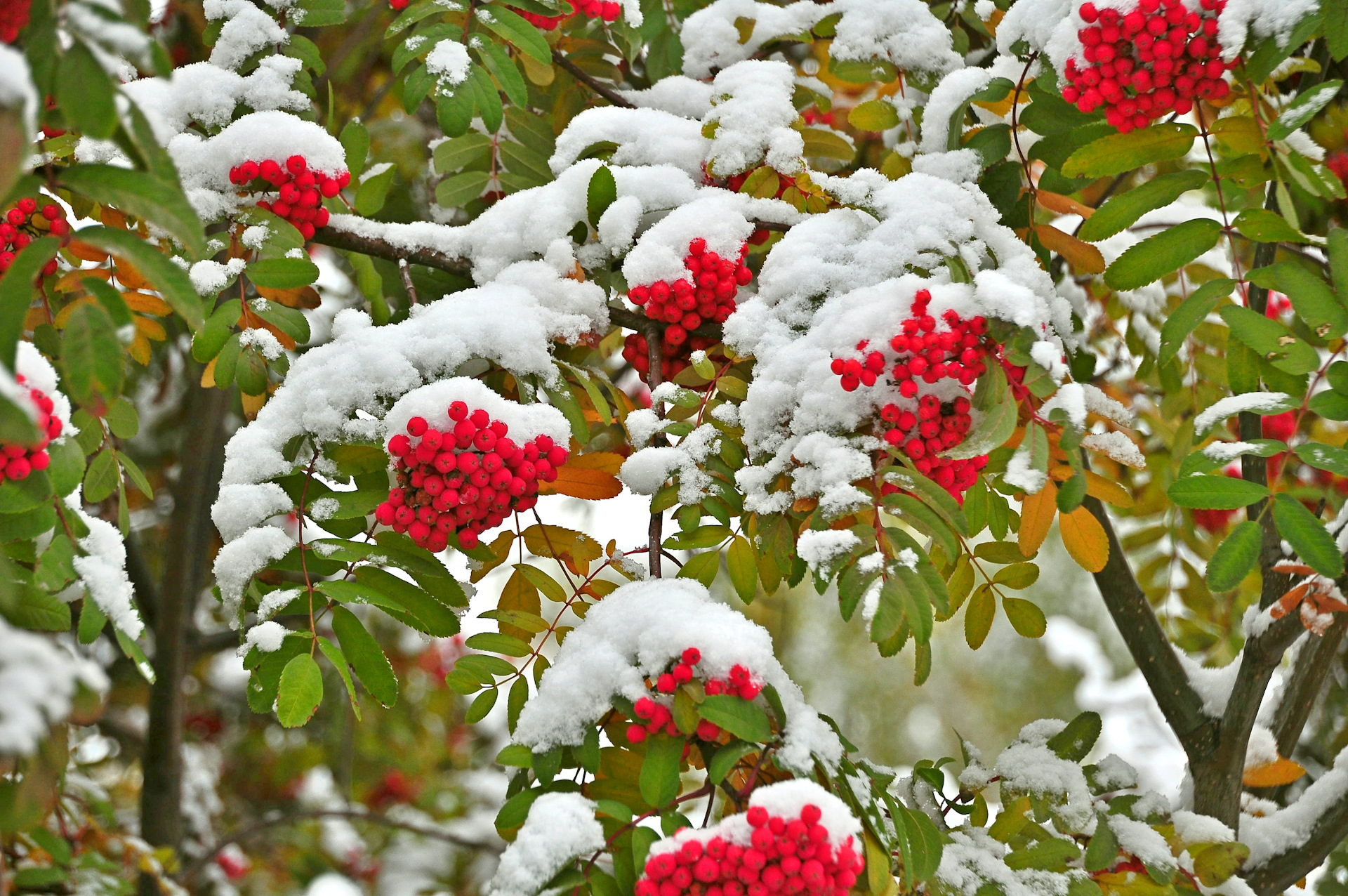 дерево рябины в снегу картинки папье-маше